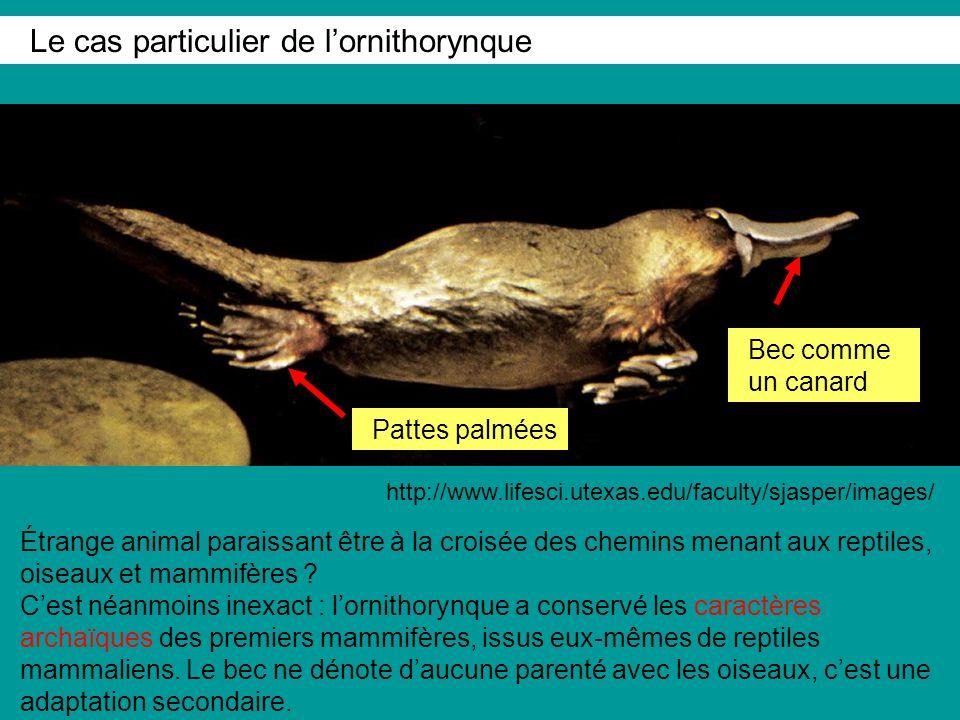 Étrange animal paraissant être à la croisée des chemins menant aux reptiles, oiseaux et mammifères .