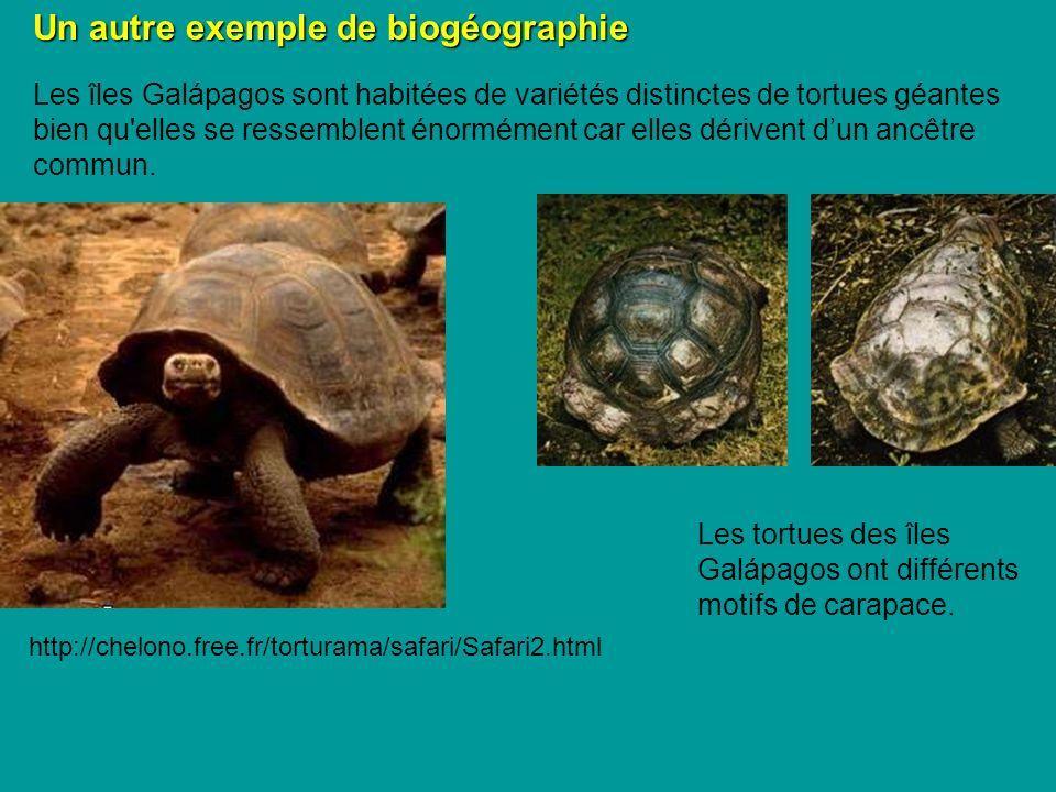 Les îles Galápagos sont habitées de variétés distinctes de tortues géantes bien qu elles se ressemblent énormément car elles dérivent dun ancêtre commun.