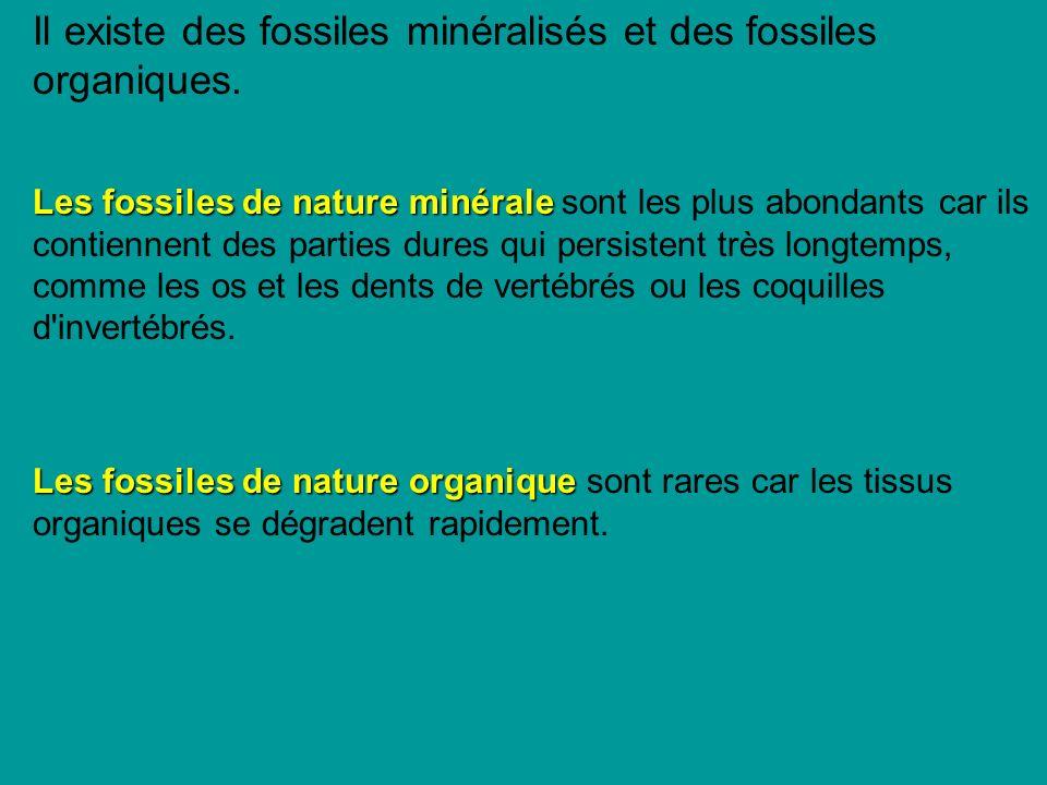 Il existe des fossiles minéralisés et des fossiles organiques.