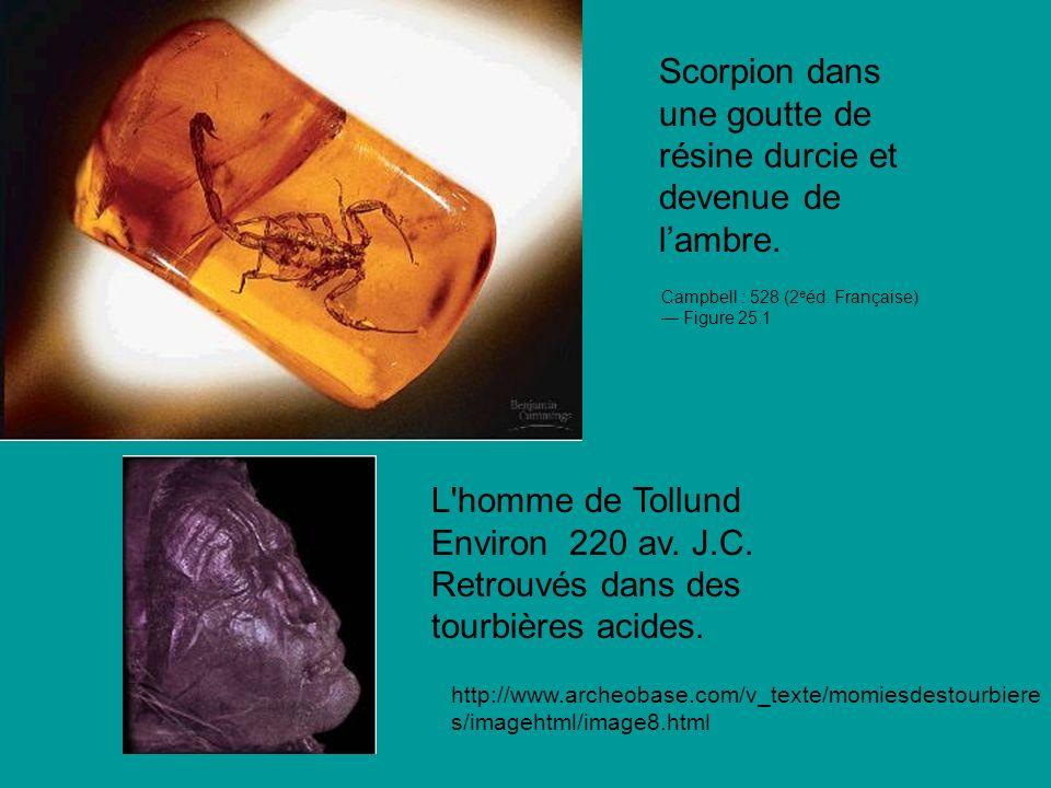 Scorpion dans une goutte de résine durcie et devenue de lambre.
