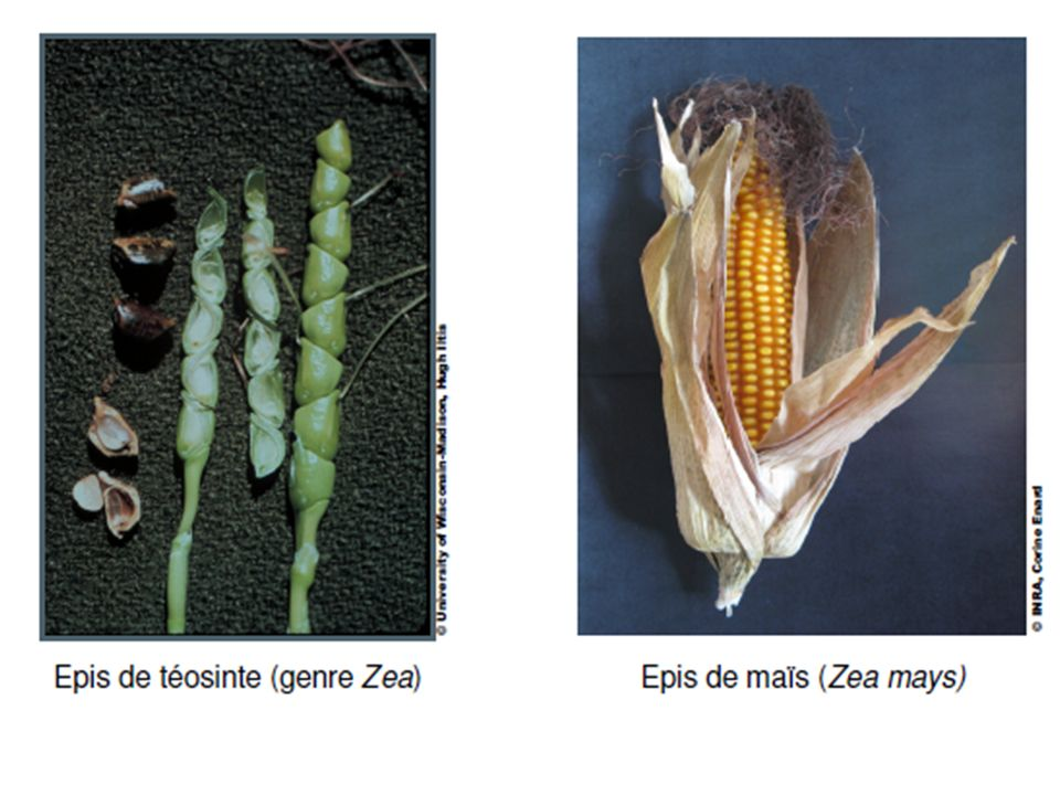 Amélioration de lutilisation alimentaire humaine et animale: - graines nues - graines plus grosses - graines plus riches en glucides
