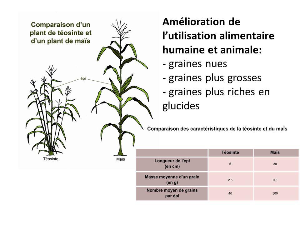 Le grain de téosinte se détache facilement de l épi (ce qui est favorable pour une espèce sauvage, car la plante se ressème facilement) et est peu digeste, à la différence du grain de maïs.