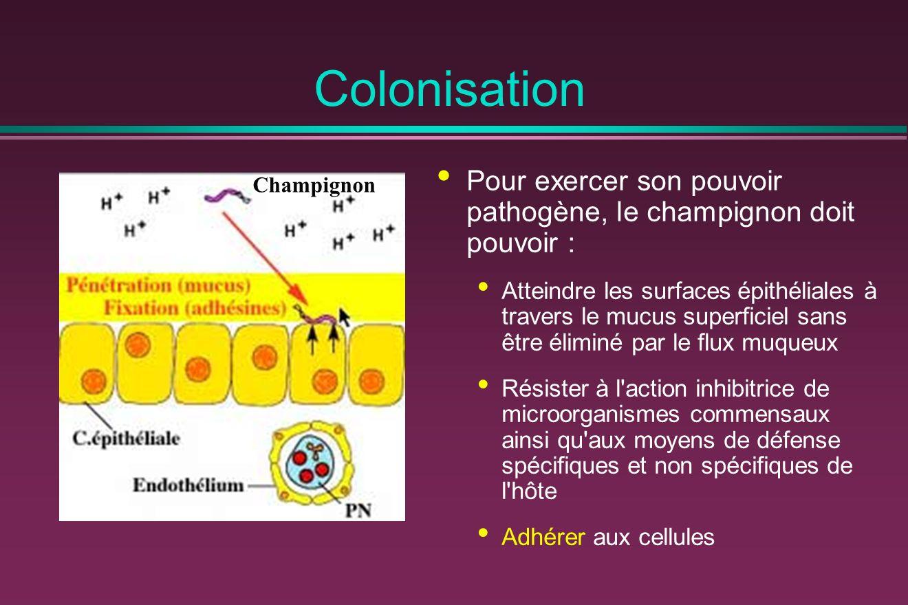 Colonisation Pour exercer son pouvoir pathogène, le champignon doit pouvoir : Atteindre les surfaces épithéliales à travers le mucus superficiel sans être éliminé par le flux muqueux Résister à l action inhibitrice de microorganismes commensaux ainsi qu aux moyens de défense spécifiques et non spécifiques de l hôte Adhérer aux cellules Champignon