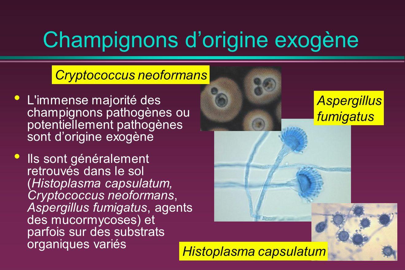 Champignons dorigine exogène L immense majorité des champignons pathogènes ou potentiellement pathogènes sont dorigine exogène Ils sont généralement retrouvés dans le sol (Histoplasma capsulatum, Cryptococcus neoformans, Aspergillus fumigatus, agents des mucormycoses) et parfois sur des substrats organiques variés Histoplasma capsulatum Cryptococcus neoformans Aspergillus fumigatus