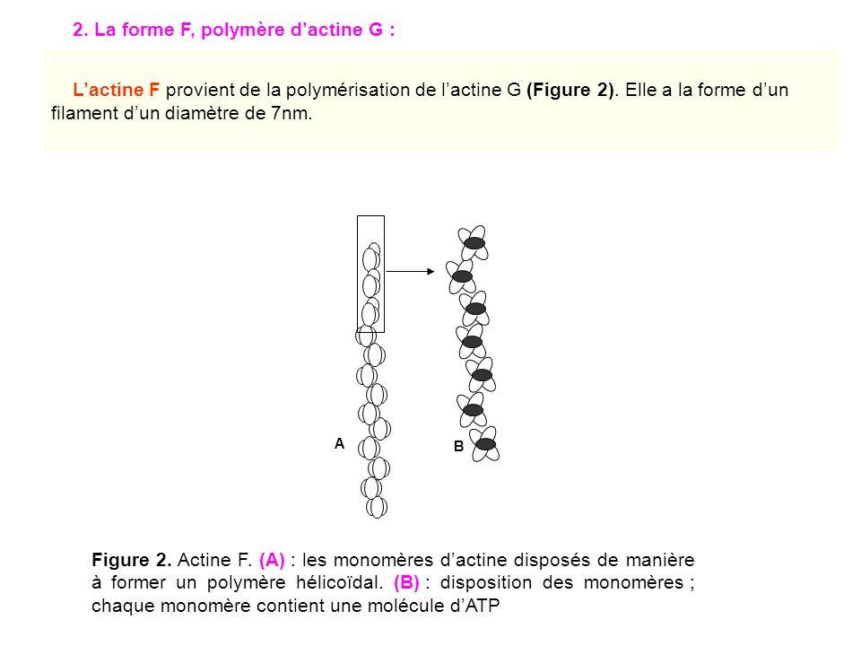 2. La forme F, polymère dactine G : A B Figure 2. Actine F. (A) : les monomères dactine disposés de manière à former un polymère hélicoïdal. (B) : dis