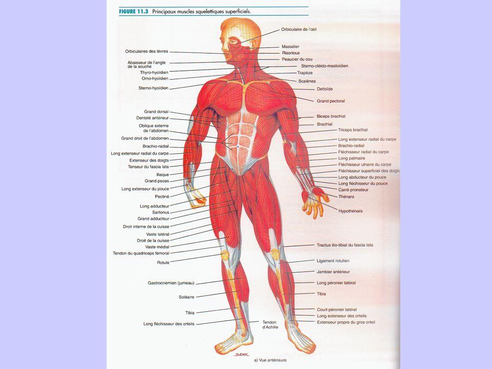 Constitutionnels Masse, Poids, Taille, longueur des segments % masse maigre, % masse grasse Composition des organes Typologie des fibres musculaires T