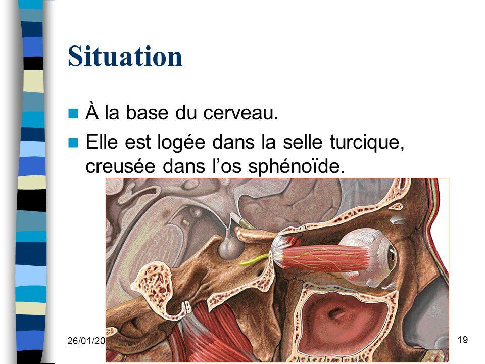 26/01/2008 Dr.ABDALLAH - Système endocrinien I 19 Situation À la base du cerveau.