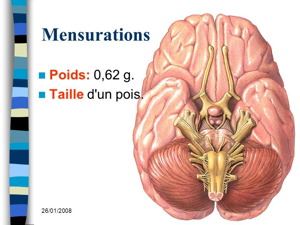 26/01/2008 Dr. ABDALLAH - Système endocrinien I 20 Mensurations Poids: 0,62 g. Taille d un pois.