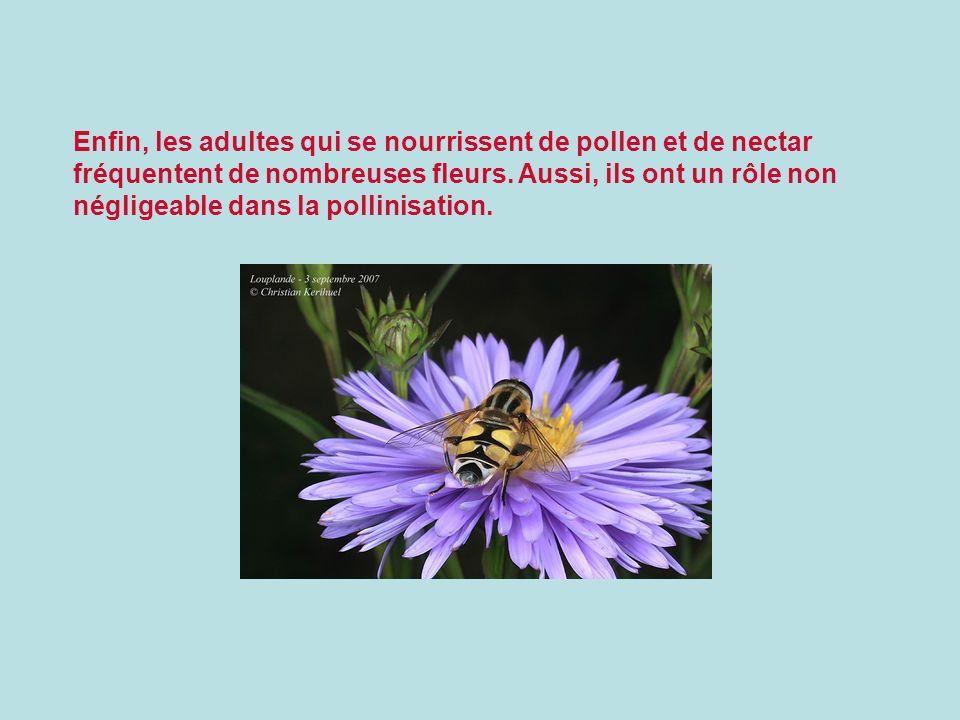 Enfin, les adultes qui se nourrissent de pollen et de nectar fréquentent de nombreuses fleurs. Aussi, ils ont un rôle non négligeable dans la pollinis