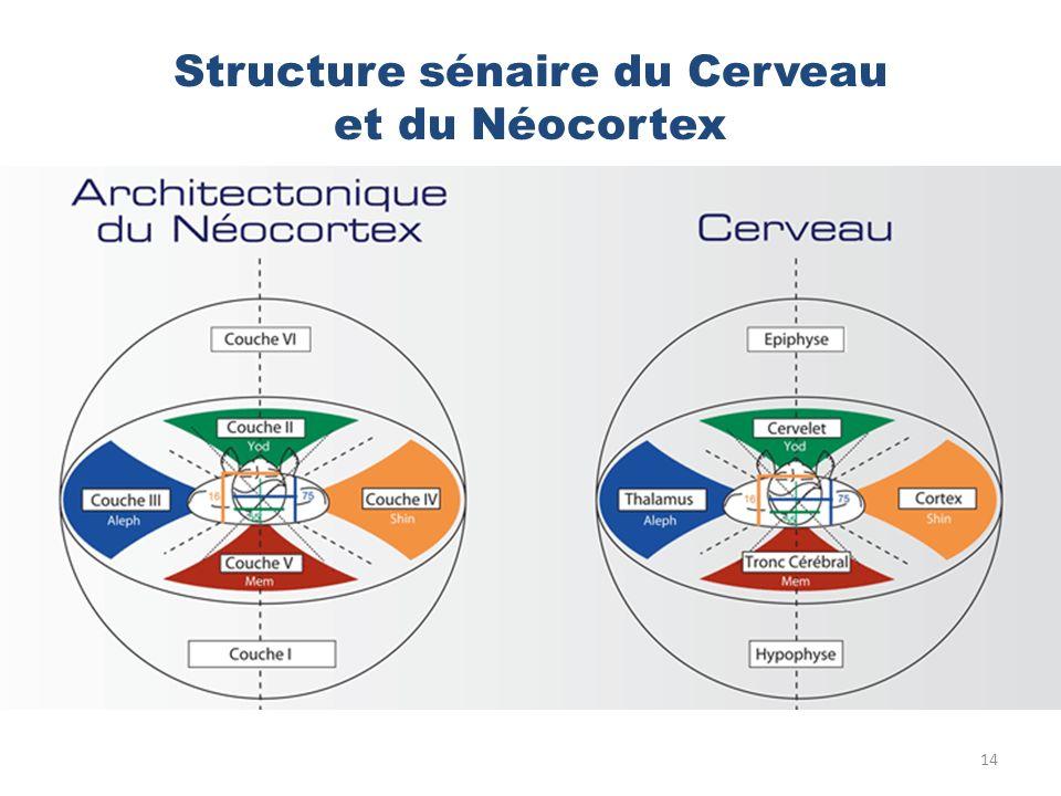 Structure sénaire du Cerveau et du Néocortex 14