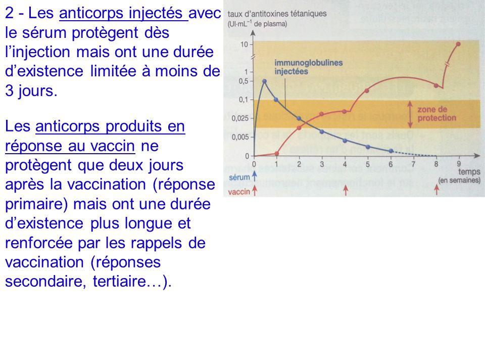 2 - Les anticorps injectés avec le sérum protègent dès linjection mais ont une durée dexistence limitée à moins de 3 jours. Les anticorps produits en