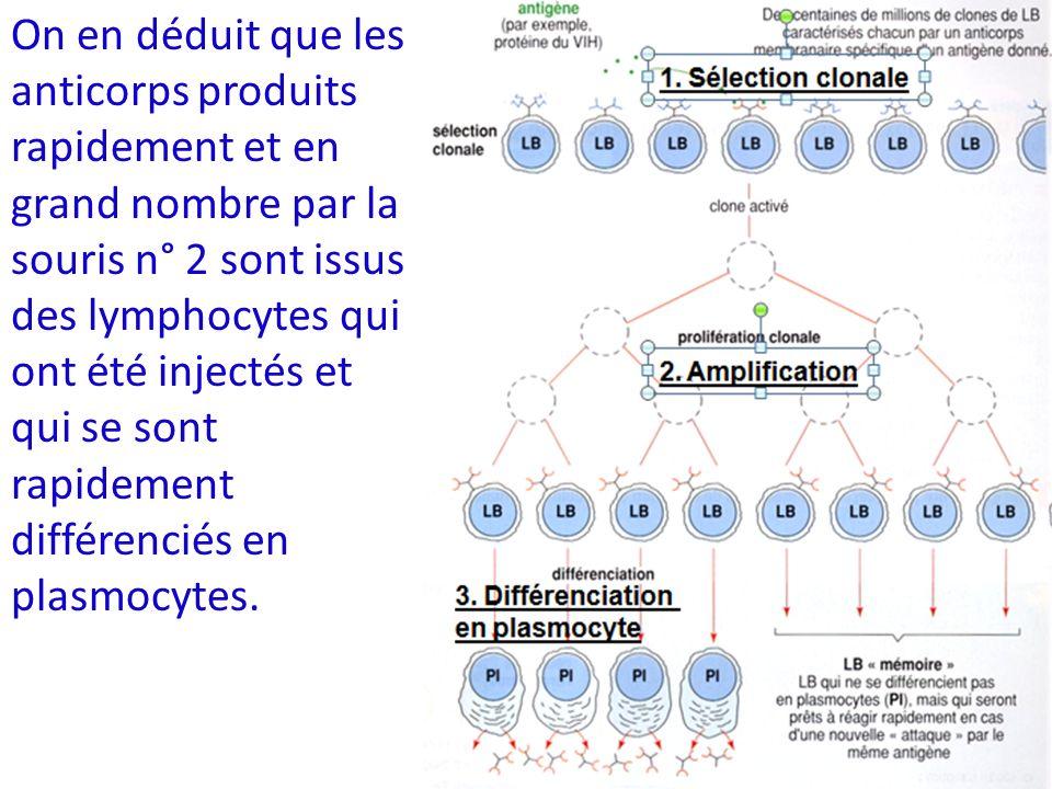 On en déduit que les anticorps produits rapidement et en grand nombre par la souris n° 2 sont issus des lymphocytes qui ont été injectés et qui se son