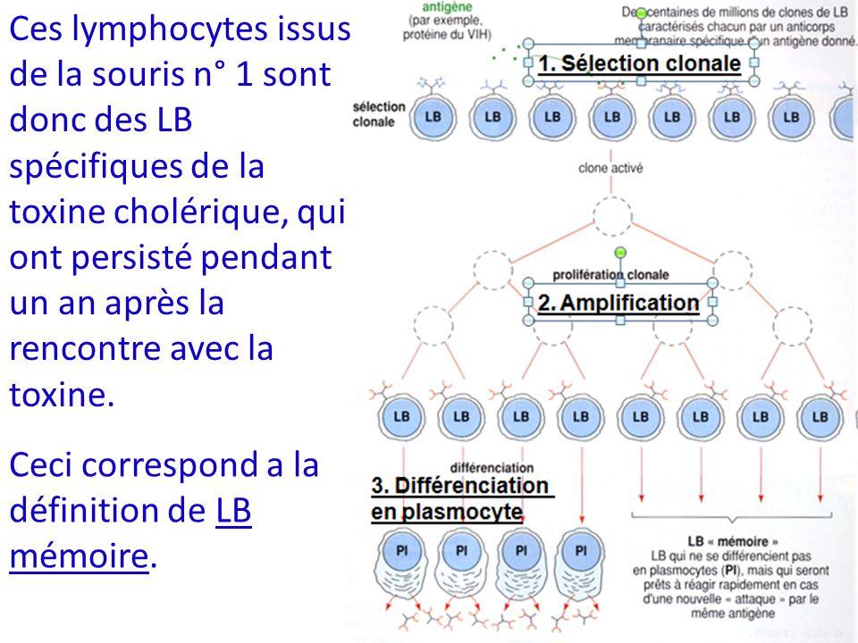 Ces lymphocytes issus de la souris n° 1 sont donc des LB spécifiques de la toxine cholérique, qui ont persisté pendant un an après la rencontre avec l