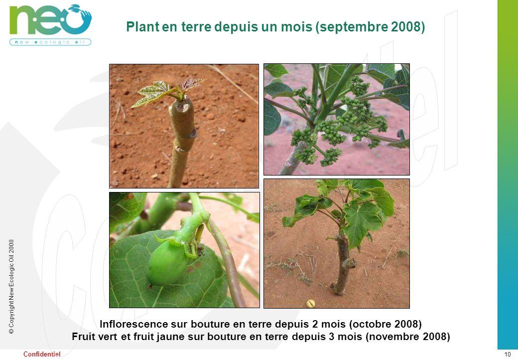 10 © Copyright New Ecologic Oil 2008 Confidentiel Inflorescence sur bouture en terre depuis 2 mois (octobre 2008) Fruit vert et fruit jaune sur boutur