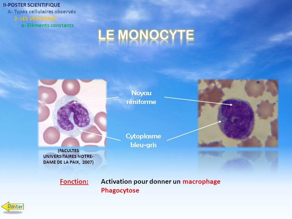 Noyau réniforme Cytoplasme bleu-gris Activation pour donner un macrophage Phagocytose Fonction: II-POSTER SCIENTIFIQUE A- Types cellulaires observés 2