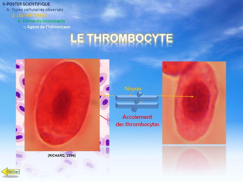 II-POSTER SCIENTIFIQUE A- Types cellulaires observés 2- LES VERTEBRES b- Eléments inconstants o Agent de lhémostase Noyau central et arrondi Accolemen
