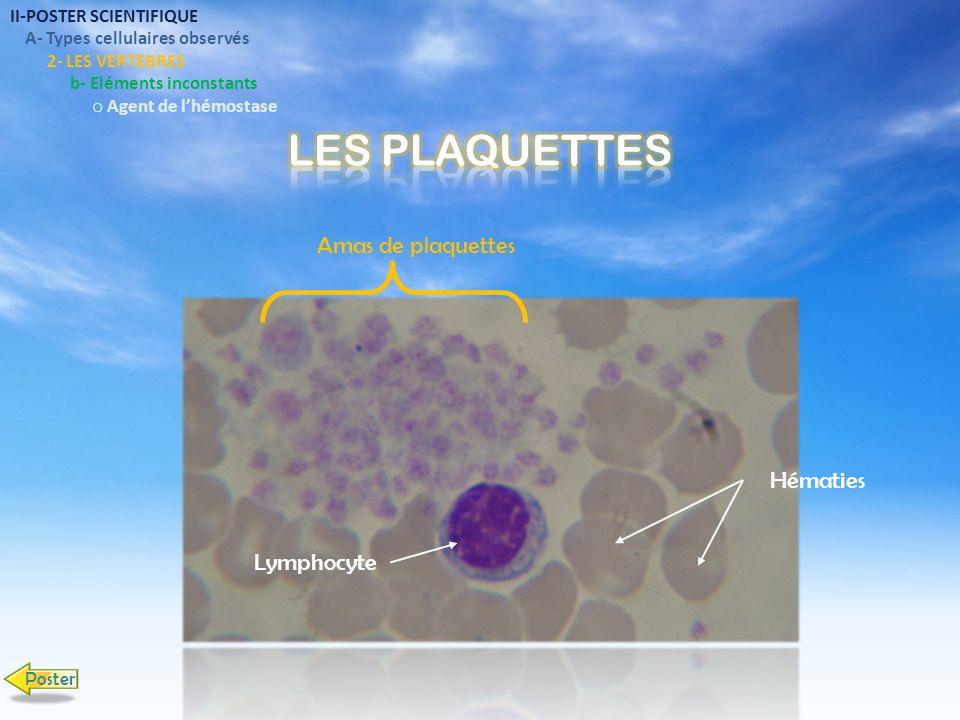 II-POSTER SCIENTIFIQUE A- Types cellulaires observés 2- LES VERTEBRES b- Eléments inconstants o Agent de lhémostase Hématies Lymphocyte Amas de plaque