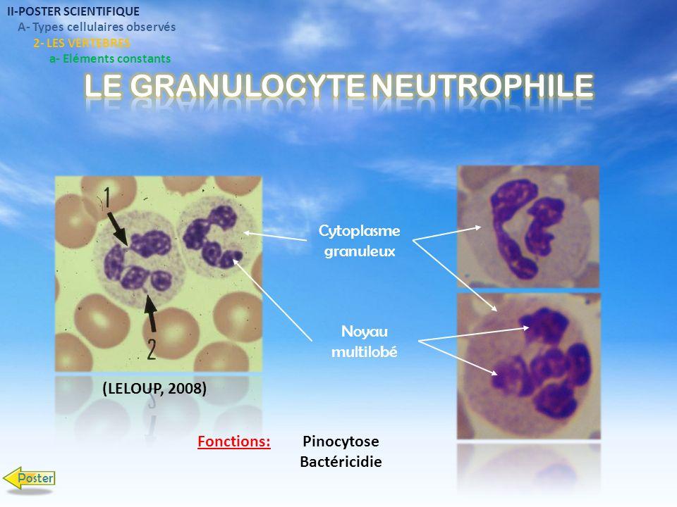 Granulation éosinophile Noyau multilobé Phagocytose faible Lutte antiparasitaire Résistance au tumeurs Fonction: II-POSTER SCIENTIFIQUE A- Types cellulaires observés 2- LES VERTEBRES a- Eléments constants Poster (FACULTES UNIVERSITAIRES NOTRE- DAME DE LA PAIX, 2007)