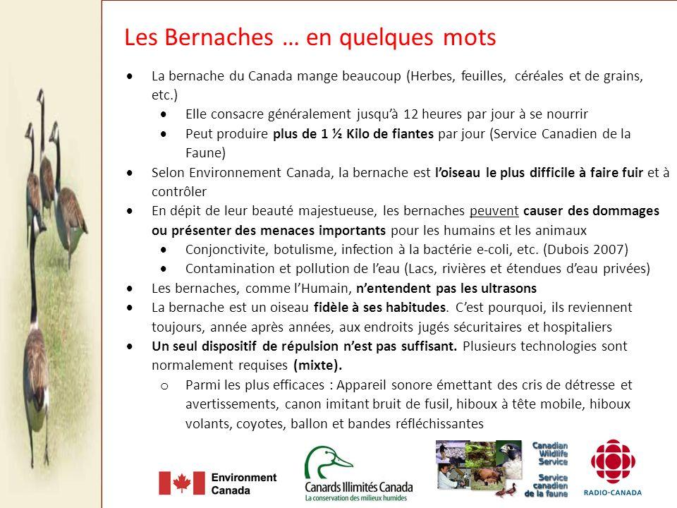 La bernache du Canada mange beaucoup (Herbes, feuilles, céréales et de grains, etc.) Elle consacre généralement jusquà 12 heures par jour à se nourrir