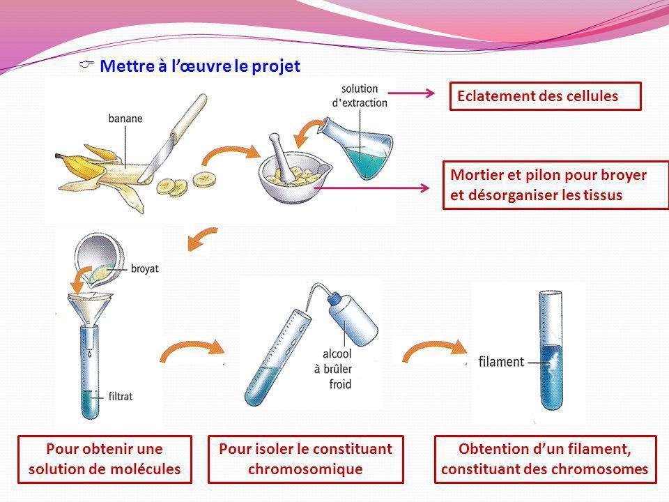 Mortier et pilon pour broyer et désorganiser les tissus Eclatement des cellules Pour isoler le constituant chromosomique Pour obtenir une solution de