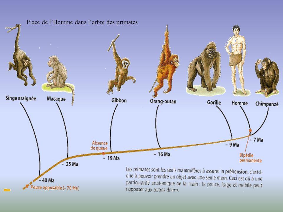 Les arbres dévolution actuels confirment-ils notre dernier modèle ? Acquisition de la bipédie Fossile ayant des caractères communs à lHomme et au chim