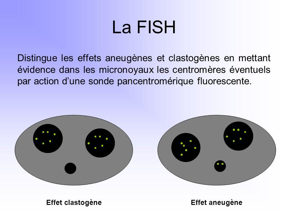 La FISH Distingue les effets aneugènes et clastogènes en mettant évidence dans les micronoyaux les centromères éventuels par action dune sonde pancent