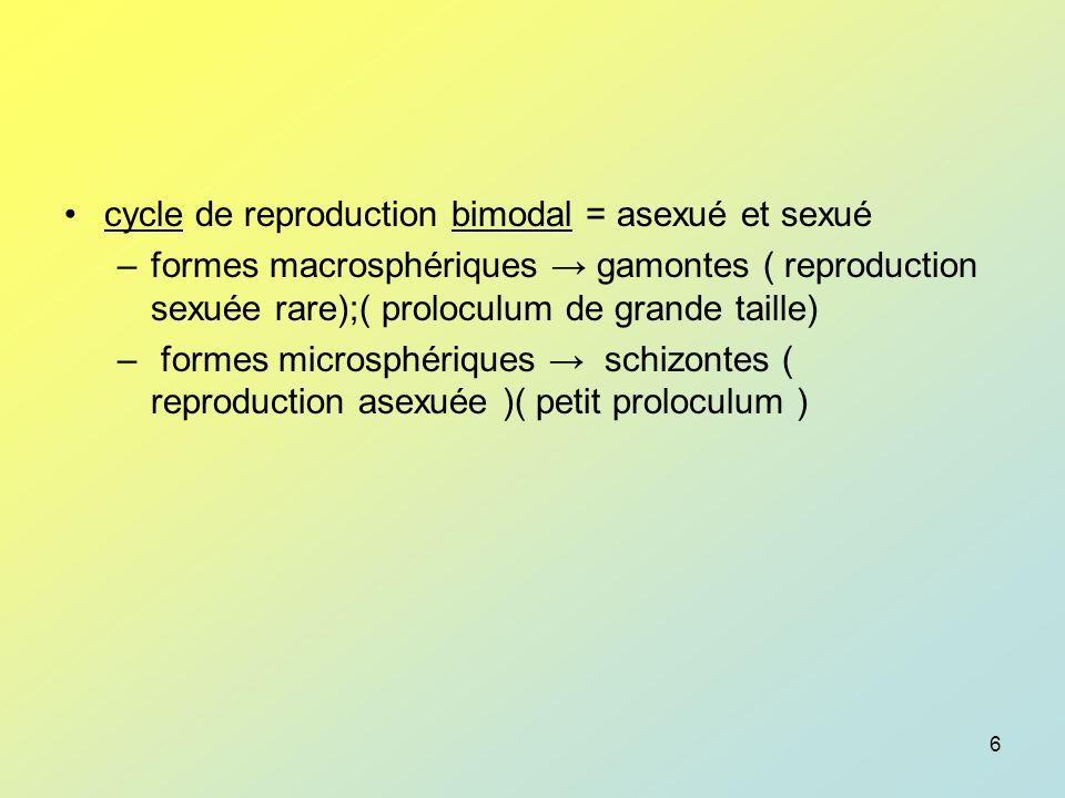 7 test intraectoplasmique minéralisé calcite/aragonite doublé par une basale chitineuse.