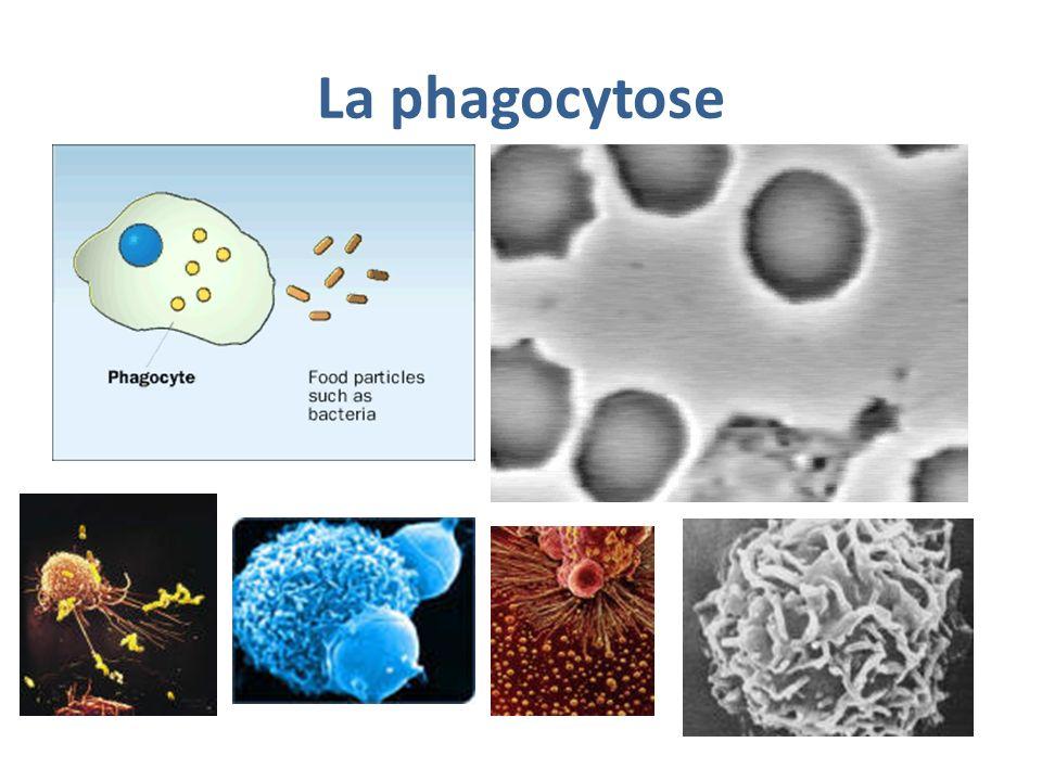 Les étapes de la phagocytose http://www.biologieenflash.net/animation.php?ref=bio-0064-2