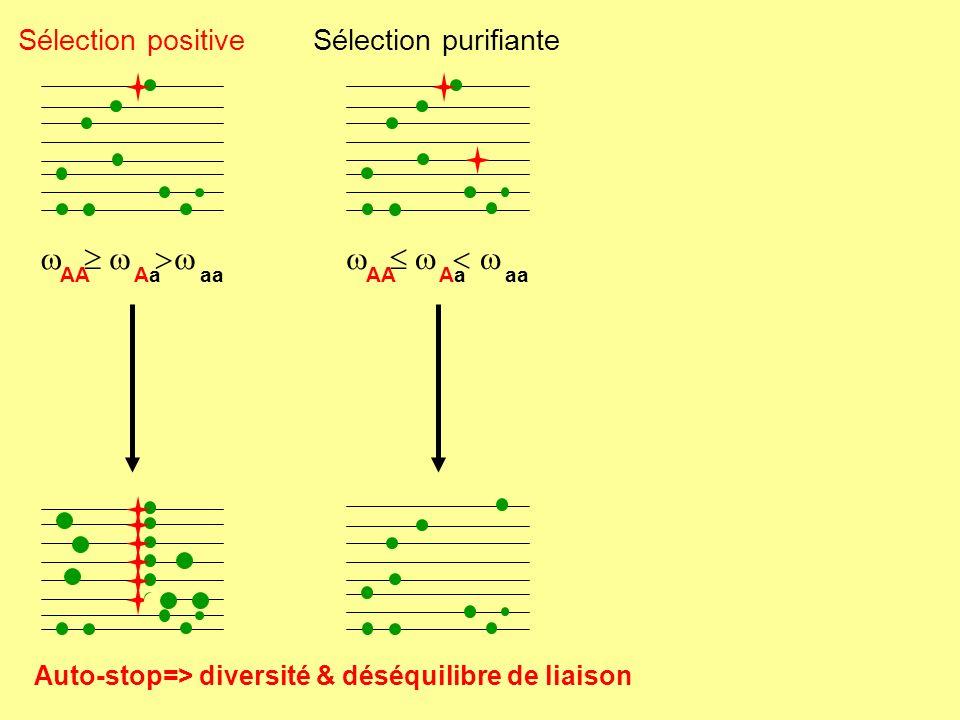 AaAa aa AA Sélection positiveSélection purifiante AaAa aa AA Sélection balancée > max(, ) AaAa AA aa ou Confrontation entre marqueurs (Diversité, LD, F-stats)