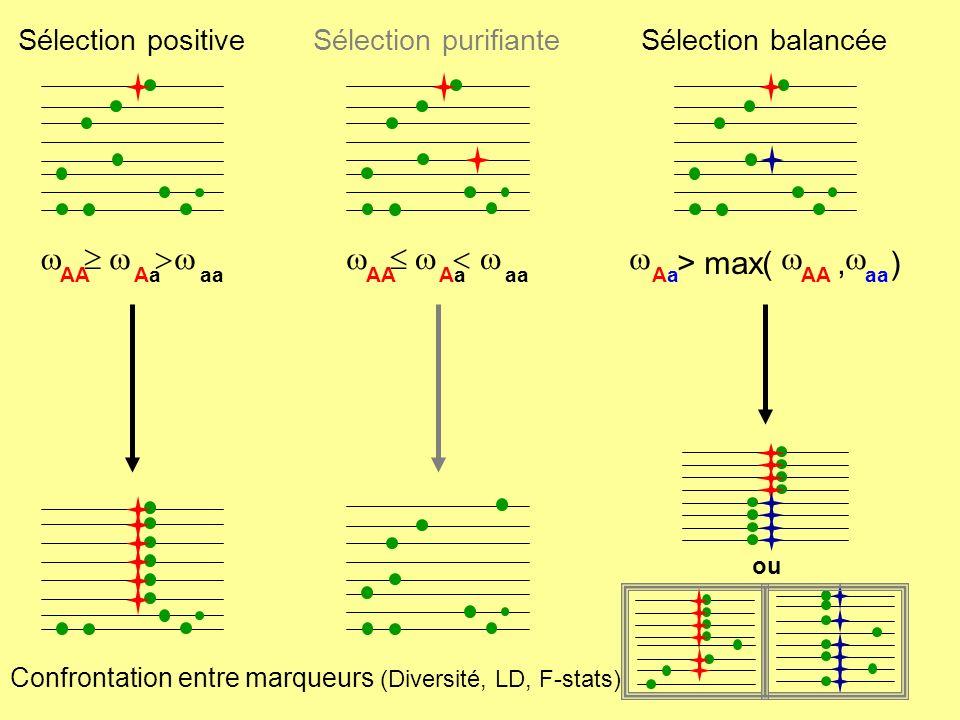 Neutralité allèles occurrence peu dallèles fréquents Sélection positive Un allèle trop fréquent Sélection balancée qques allèles à mêmes frqces Test dEwens-Watterson Tests de Tajima et de Fu & Li