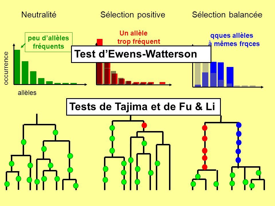 Fréquence temps 0 1 N individus diploïdes & µ: taux dapparition probabilité de fixation (Stabilité démographique) Taux de fixation neutre: = 2N.