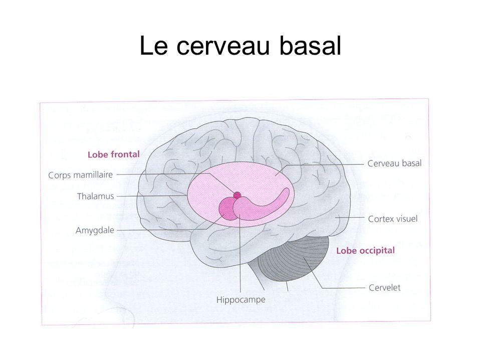 Le cerveau basal
