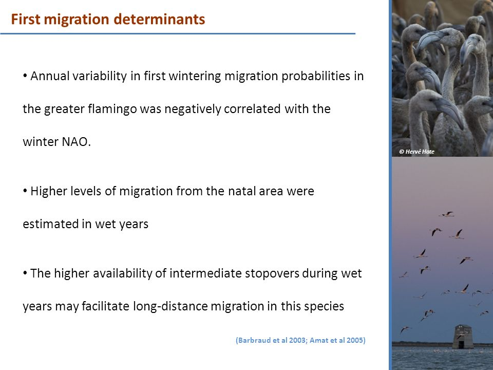 First migration determinants Annual variability in first wintering migration probabilities in the greater flamingo was negatively correlated with the