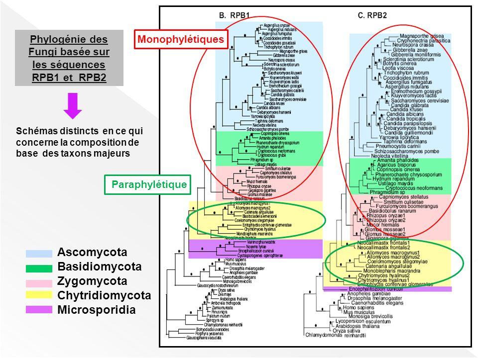 Phylogénie des Fungi basée sur les séquences RPB1 et RPB2 Schémas distincts en ce qui concerne la composition de base des taxons majeurs Monophylétiqu