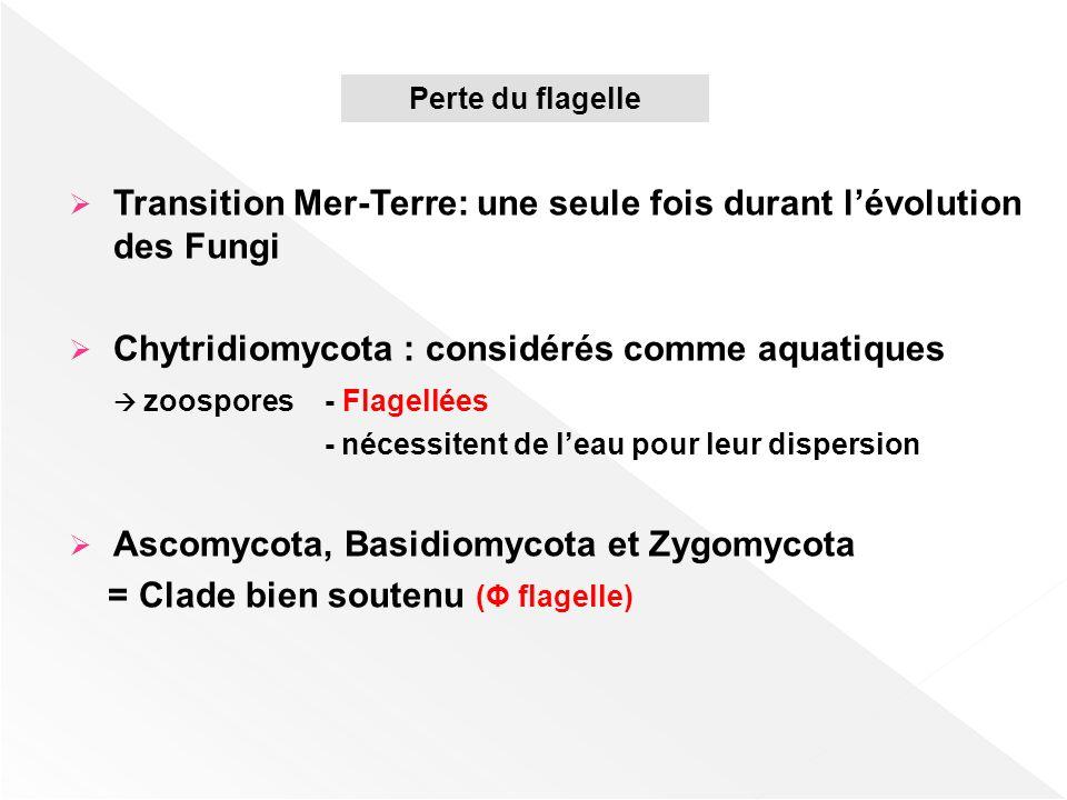 Transition Mer-Terre: une seule fois durant lévolution des Fungi Chytridiomycota : considérés comme aquatiques zoospores - Flagellées - nécessitent de
