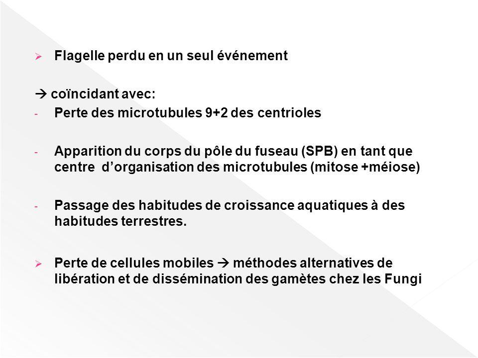 Flagelle perdu en un seul événement coïncidant avec: - Perte des microtubules 9+2 des centrioles - Apparition du corps du pôle du fuseau (SPB) en tant