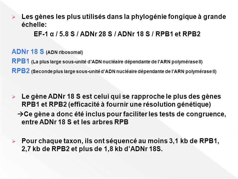 Les gènes les plus utilisés dans la phylogénie fongique à grande échelle: EF-1 α / 5.8 S / ADNr 28 S / ADNr 18 S / RPB1 et RPB2 ADNr 18 S (ADN ribosom