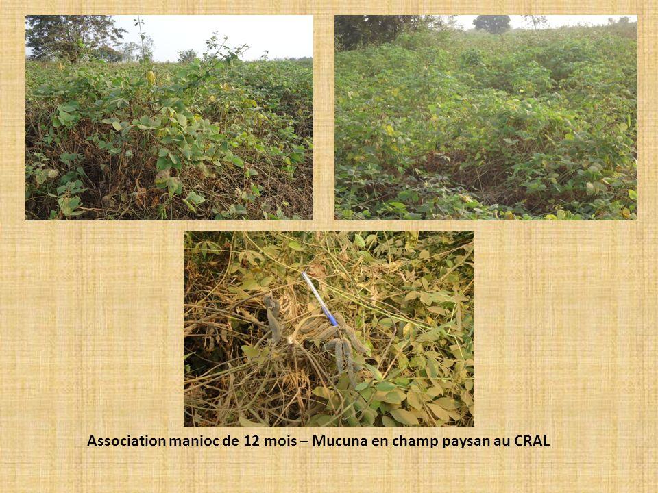 Association manioc de 12 mois – Mucuna en champ paysan au CRAL