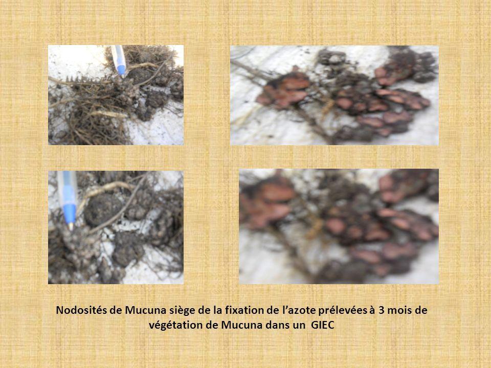 Nodosités de Mucuna siège de la fixation de lazote prélevées à 3 mois de végétation de Mucuna dans un GIEC