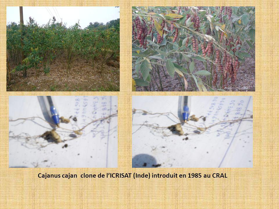 Cajanus cajan clone de lICRISAT (Inde) introduit en 1985 au CRAL