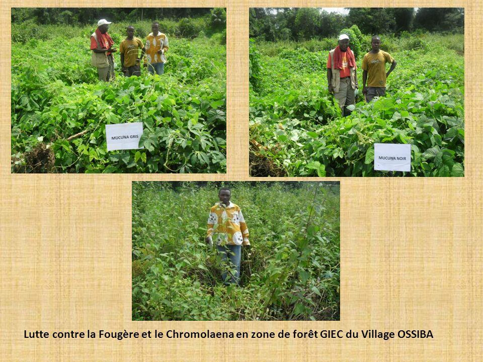 Lutte contre la Fougère et le Chromolaena en zone de forêt GIEC du Village OSSIBA