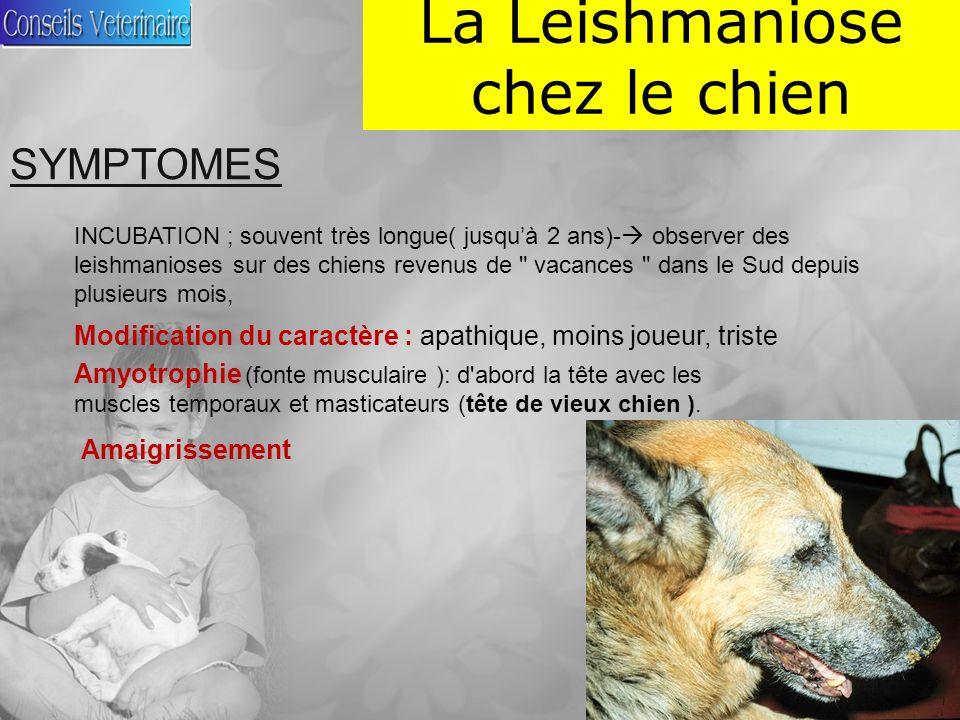 La Leishmaniose chez le chien SYMPTOMES INCUBATION ; souvent très longue( jusquà 2 ans)- observer des leishmanioses sur des chiens revenus de vacances dans le Sud depuis plusieurs mois, Modification du caractère : apathique, moins joueur, triste Amyotrophie (fonte musculaire ): d abord la tête avec les muscles temporaux et masticateurs (tête de vieux chien ).