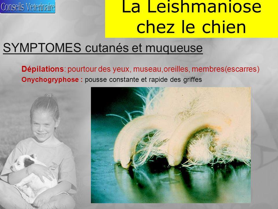 La Leishmaniose chez le chien SYMPTOMES cutanés et muqueuse Dépilations: pourtour des yeux, museau,oreilles, membres(escarres) Onychogryphose : pousse constante et rapide des griffes