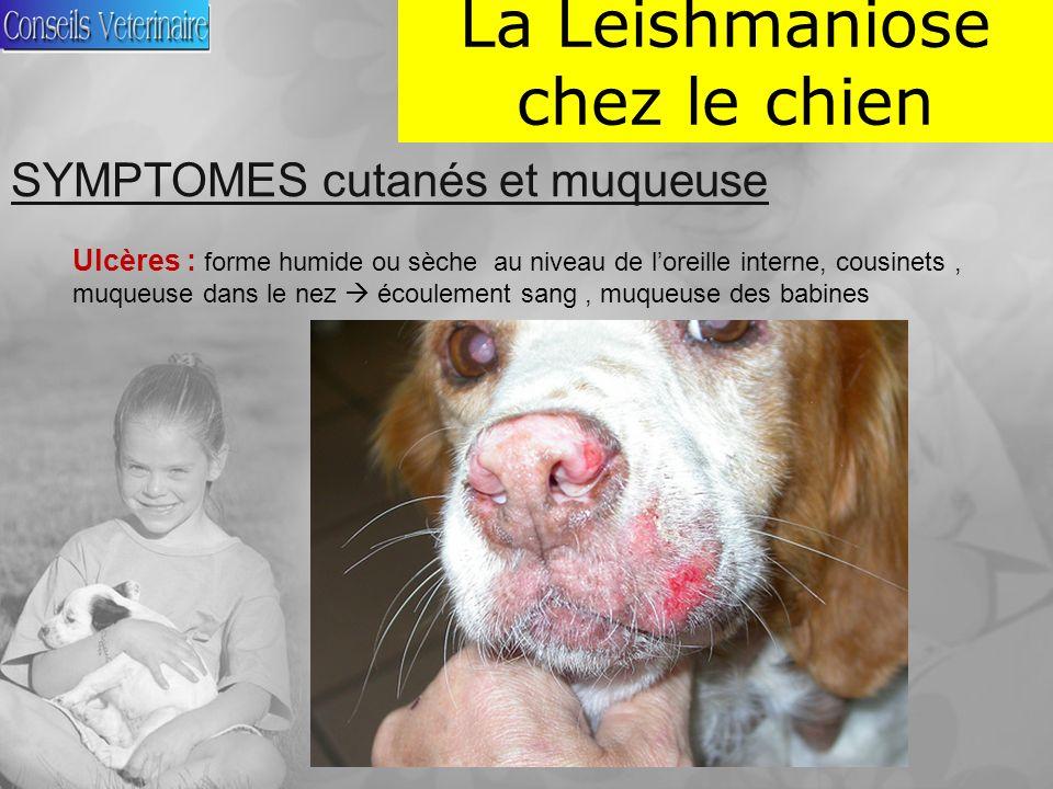 La Leishmaniose chez le chien SYMPTOMES cutanés et muqueuse Ulcères : forme humide ou sèche au niveau de loreille interne, cousinets, muqueuse dans le nez écoulement sang, muqueuse des babines