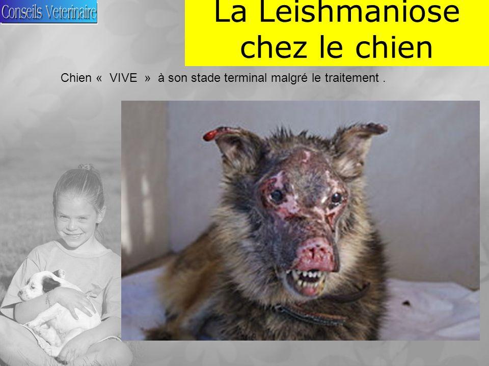 La Leishmaniose chez le chien Chien « VIVE » à son stade terminal malgré le traitement.
