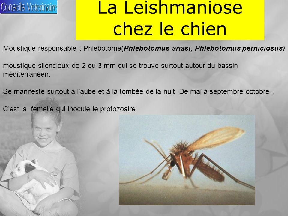 La Leishmaniose chez le chien Moustique responsable : Phlébotome(Phlebotomus ariasi, Phlebotomus perniciosus) moustique silencieux de 2 ou 3 mm qui se trouve surtout autour du bassin méditerranéen.