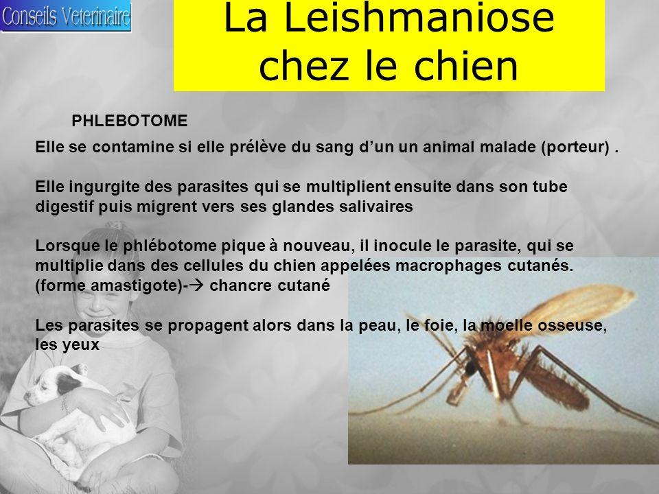 La Leishmaniose chez le chien Elle se contamine si elle prélève du sang dun un animal malade (porteur).