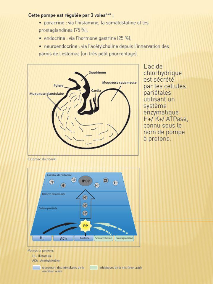 1.Pourquoi lestomac du cheval est-il prédisposé aux ulcères ? Lestomac du cheval est divisé en deux parties distinctes 2- 4-41-42-69 : une région dors
