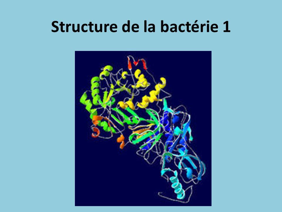 Structure de la bactérie 2 Grâce à sa forme hélicoïdale et à ses flagelles, la bactérie se glisse à travers les muqueuses de l estomac et s ancre aux cellules épithéliales grâce à des adhésines (protéines fixatrices).