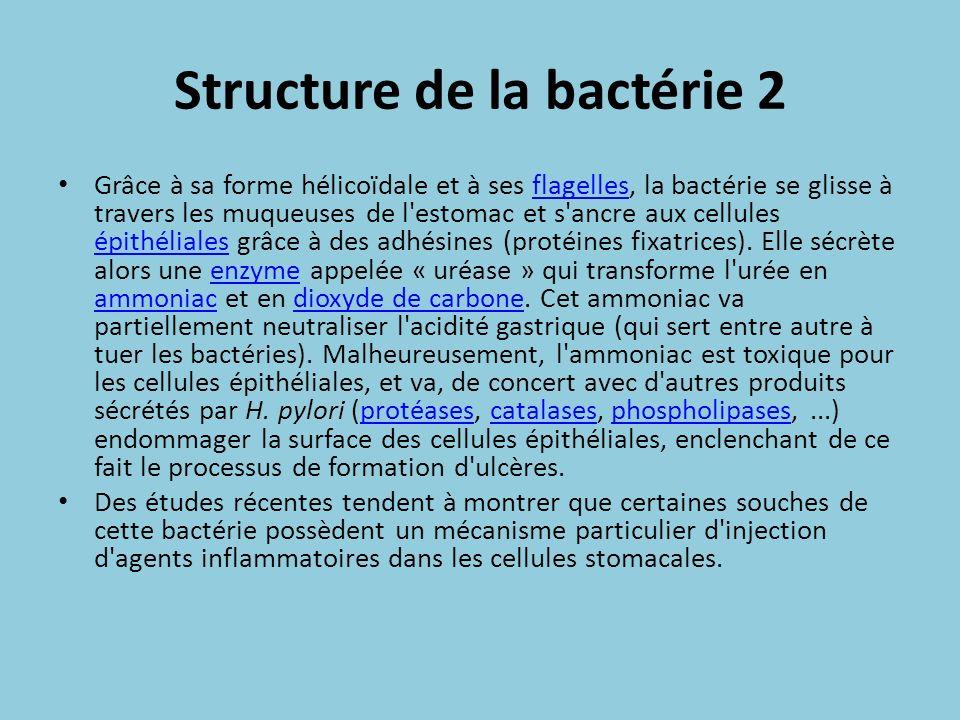 Structure de la bactérie 2 Grâce à sa forme hélicoïdale et à ses flagelles, la bactérie se glisse à travers les muqueuses de l'estomac et s'ancre aux